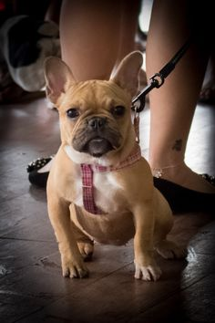 French Bulldog, via Batpig & Me Tumble It