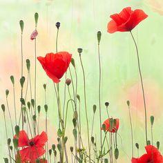 Poppies | Leena Holmström | Flickr