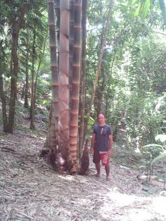 Dendrocalamus Asper Giant Bamboo, Bamboo Art, Bamboo Garden, Bamboo Plants, Bamboo Fence, All About Plants, Weird Plants, Bamboo Seeds, Bamboo Species