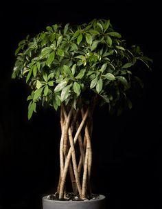 Seflera plant by M.Florist Pierros V.