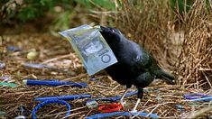 """A satin bower bird decorates his pad with care to impress a female.  Be sure to watch the video """"Objects of desire,    Weird Nature"""". So cute. (If I were a bird, and a bit younger, I'd marry him!!!!!!!) ~(:-)"""