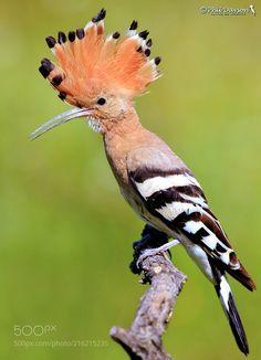 Crest up !! (Phil Davson / Lugano / Switzerland) #Canon EOS 5D Mark III #animals #photo #nature