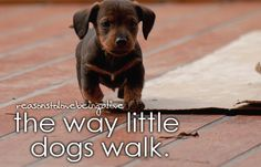 The way little dogs walk :) Its like a cute little... Never mind I can't even explain that cuteness
