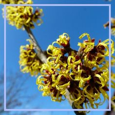 Double tap if you also think that witchhazel is beautiful.  Sent via @planoly #planoly