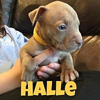 NEW YOK, NY - HALLE is an AMERICAN PIT BULL TERRIER BABY for adoption who needs a loving home.