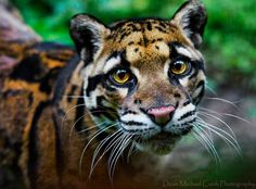 Formosan clouded leopard - possibly extinct in the wild :<