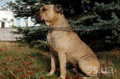 animals-dogs-perro-dogo-mallorquin-ca-de-bou-1.800.jpg