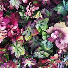 hydrangea magical expression classic by @aesmestudio