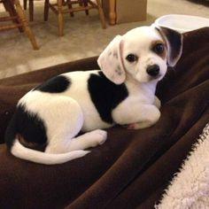 Is this Chihuahua-Beagle (Cheagle)