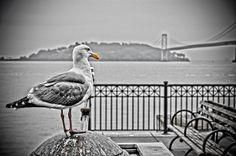 Seagull by sdhaddow, via Flickr