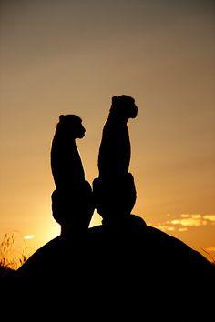 Cheetah's sunset