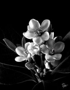 Indian Hawthorn in Black and White