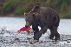 This is one of biggest bears I saw all week. Despite its immense size and power, his fishing techniques were effortless and carried out with surgical precision. Between shooting the occasional image, I just watched with awe as he caught and ate one salmon after another for hours. #Alaska #Bears
