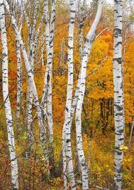 white birch - Google Search