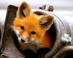 A curious fox peeking out of a metal pipe.