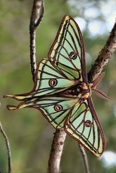 gorgeous luna moth....I know it says, moth, but I'm sticking it with my butterflies...they're all related. Lol...it's too beautiful not to pin!