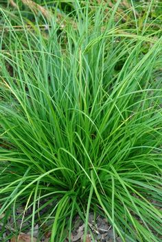 Carex cherokeensis (Cherokee sedge) - Grass - Zones 6-9, Height 12-18 in. An exceptional native species that adds softness to the garden! A neat, clumping form with handsome bright green foliage. A wonderful native alternative to Pennisetum, it is simply lovely as a neat edge along pathways, as a filler among taller perennials, or en masse. Best in part sun to full shade and average to moist soils. Remains semi-evergreen. Avoid hard cut-back. Trim brown tips in winter or early spring if a…