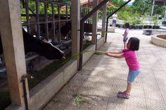 Caca Vs the cow