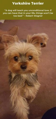 More About The Sprightly Yorkshire Terrier Pup Grooming Toy Yorkshire Terrier, Yorkshire Terrier Haircut, Tiny Puppies, Cute Puppies, Cute Dogs, Teacup Yorkie, Yorkie Puppy, Bulldog Quotes, Yorkie Names
