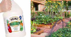 10 amazing ways to use vinegar in the garden