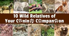 The coyote, dingo, raccoon dog, maned wolf, and African wild dog are some of the wild relatives of the Canidae or Canids family. http://healthypets.mercola.com/sites/healthypets/archive/2014/05/12/10-canidae-wild-relatives.aspx