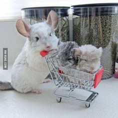 Chinchilla mommy, and her two little ones.