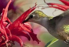 Hummingbird Feeding From Flower A Female Ruby-Throated Hummingbird feeds on nectar from a red flower. Hummingbirds are attracted to r. How To Attract Hummingbirds, Flower Planters, Amazing Flowers, Organic Gardening, Gardening Blogs, Red Flowers, Backyard, Plants, Animals