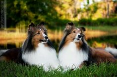 Cute Shelties