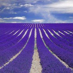 #France - Provence lavender field