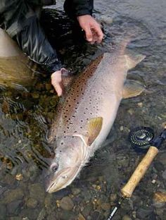 Fly Fishing for Sea-run Brown Trout.