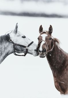 Kiss. Strange because at my old barn there were 2 inseparable horses, looked just like this pair!