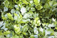 Celery Leaf Info: Learn About Growing Celery As Herb Plants - Leaf celery is darker, leafier, and has thinner stalks than ordinary celery. The leaves have a strong, almost peppery flavor that makes for a great accent in cooking. For more leaf celery info and celery herb uses, this article will help.