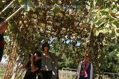 Walking in the cool shade of the gourd arbor on Blithewold's grounds this fall during our sensory tour of the gardens.