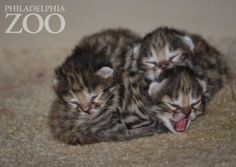 Three cute Black-footed cats were born at the Philadelphia Zoo and are the first of the small African wild cat species to be born there. See the adorable photos.