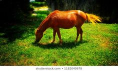 Explore 310 high-quality, royalty-free stock images and photos by Prayashu Namdev available for purchase at Shutterstock. Grass, Horses, Stock Photos, Eat, Nature, Image, Naturaleza, Horse, Nature Illustration