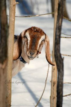 Upload your best active weather photos and videos or watch them in our new searchable gallery. Animals Love that Winter Sunshine! Keeping Goats, Farm Animals, Kangaroo, Sunshine, Charlotte, Photo And Video, Pets, Winter, Animals And Pets