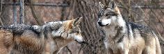The Mexican gray wolf (Canis lupus baileyi)