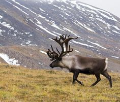 reindeer, mountains, snow x 1333 px] - Animals/Wildlife - Pictures and wallpapers Cheetah Wallpaper, Wild Animal Wallpaper, Deer Wallpaper, Elephant Wallpaper, Wildlife Wallpaper, Pretty Animals, Most Beautiful Animals, Beautiful Things, Caribou Hunting