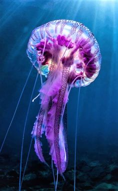 Big Purple Jellyfish