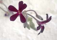sweet delicate by Darwin Bell, via Flickr