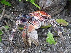 El cangrejo de los cocoteros (Birgus latro)