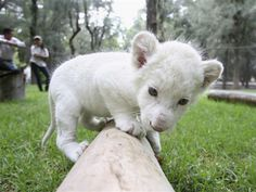 A rare snow-white lion cub was born Sept. 14 at a zoo in the city of Leon, in the Mexican state of Guanajuato.  White lions are NOT albinos. They are color mutations of a certain subspecies of lion, and quite rare. When they occurred in the wild in South Africa, the locals regarded them as divine. We think this little guy is pretty divine too!  Animal Tracks.