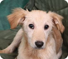 Ulysses Sheltie's Story... Ulysses Sheltie Sheltie mix Young Male Medium Actual birthdate: 10/1/14 Weight: 17 pounds Adoption fee: $275 Website: http://www.takeafriendhome.org Address: 1 Campbell Plaza 1st Floor, Building A, Center Entrance St. Louis, MO 63139
