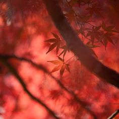 Red Maple Leaves by Ryota Shimizu