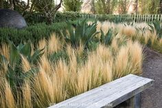 Oehme Van Sweden drought tolerant demonstration garden with grasses (Nassella tenuissima - Mexican Feather Grass) and agave at Cornerstone Landscape Architecture, Landscape Design, Garden Design, Abstract Landscape, Back Gardens, Outdoor Gardens, Drought Tolerant Garden, Dry Garden, Xeriscaping