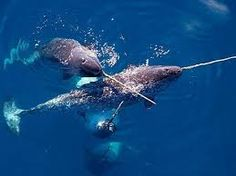 Image result for baby narwhal