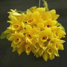 Dendrobium Sulcatum | Den.Sulcatum