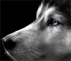 I love huskies. xoxo