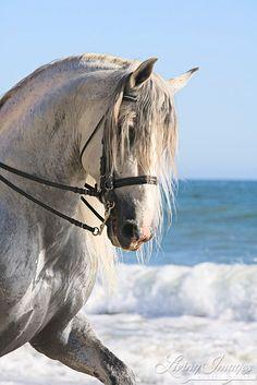 The Stallion at the Beach - Fine Art Horse Photograph by Carol Walker www.LivingImagesCJW.com