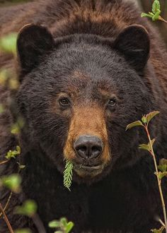 "natures-paintbox: "" Black Bear by PamsWildImages on Flickr (via Pinterest) "" ♥"